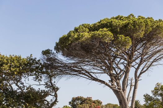Big African tree and blue sky in Cape Town, South Africa