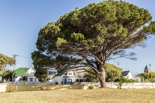 Big beautiful giant African tree in Cape Town, South Africa.