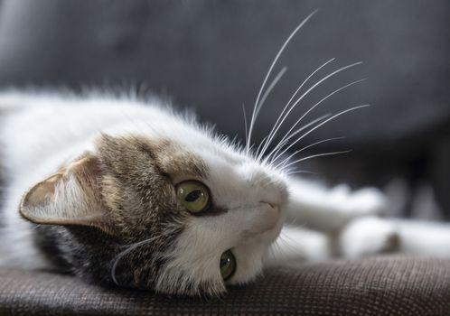 Beautiful tabby cat lies on its back