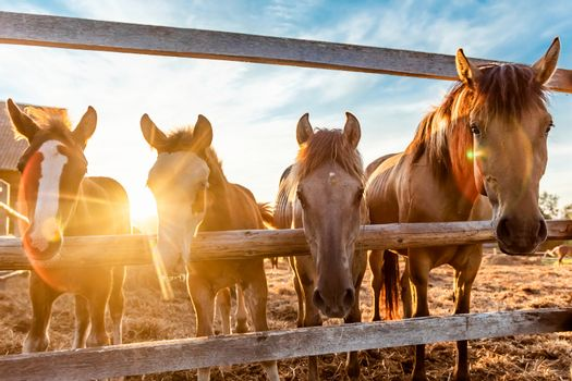 Grazing a herd of horses in a paddock