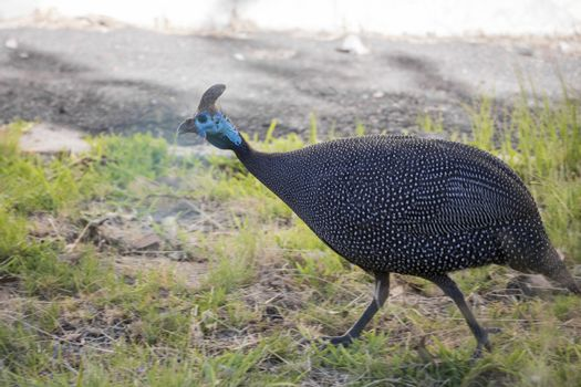 Helm Guinea Fowl, helmeted guineafowl, numida meleagris, wild animals in South Africa