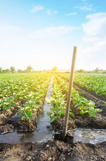 Management of watering process of eggplant plantation by irrigation canals system. European farm, farming. Caring for plants, growing food. Agriculture and agribusiness. Agronomy. Rural countryside