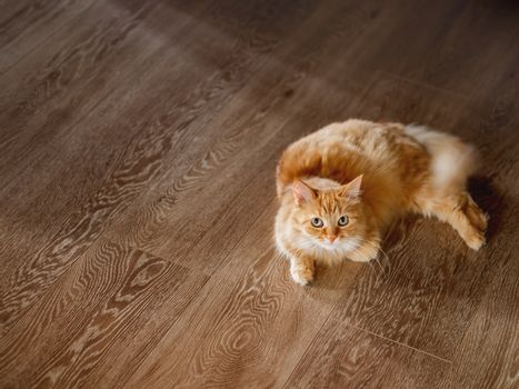 Cute ginger cat lies on wooden floor. Top view on relaxing fluffy pet. Curious and fuzzy domestic animal.