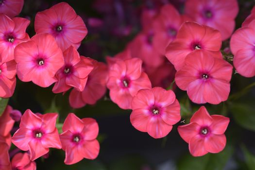 Perennial phlox Early Red