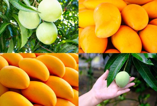 Set of four background fresh yellow and green mangoes collection.