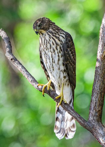 Colorado Wildlife. Juvenile Coopers Hawk Perched in a Tree With a Green Leaf Backdrop