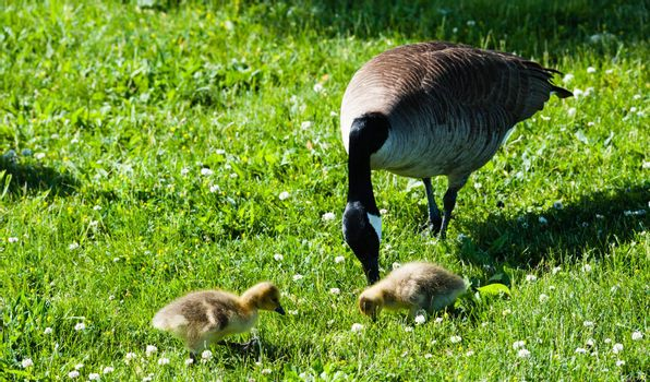 Single adult Canada Goose with two cute young goslings looking for food in green grass and white flowers.