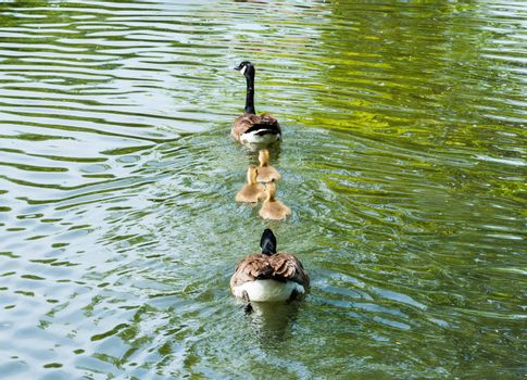 Family of two adult Canada Geese and three goslings swimming away on green water.