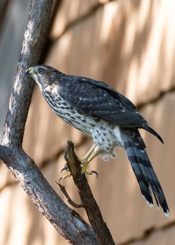 Colorado Wildlife. Juvenile Coopers Hawk Perched in a Tree.