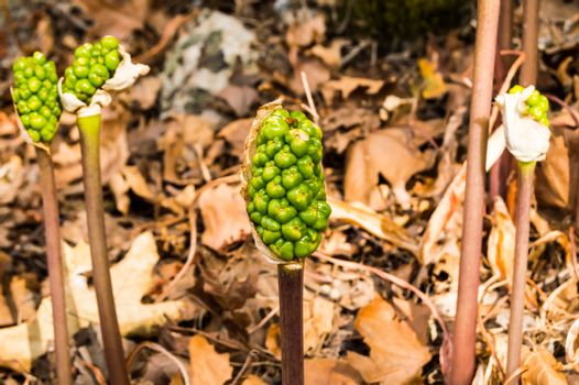 Jack-in-the-pulpit Fruit, Arisaema triphyllum. Spring wild flowe