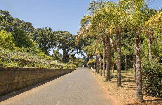 South African street with palm trees, palm al Cape Town, South Africa.