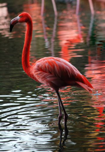 Pink flamingo waterfowl bird standing at the bank of a river