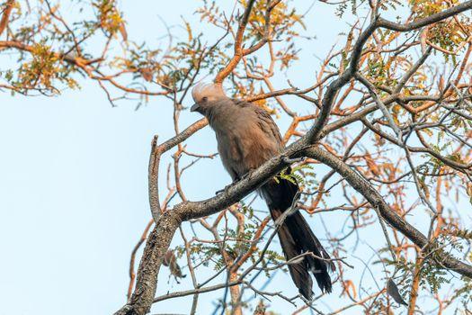 Grey Go-away-bird (Corythaixoides concolor), Nambwa National Park, Caprivi Strip, Namibia Africa wildlife