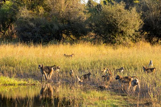 group of Chacma Baboon monkey (Papio anubis) in african savanna go drink from water, Bwabwata Caprivi strip game park, Namibia, Africa safari wildlife