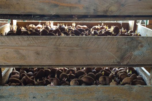 Germinating seed potatoes with roots in wooden boxes. Preparation of potatoes for sowing in the ground. Agro-industrial complex, agriculture. Traditional agriculture. Farming. Food stocks, harvest