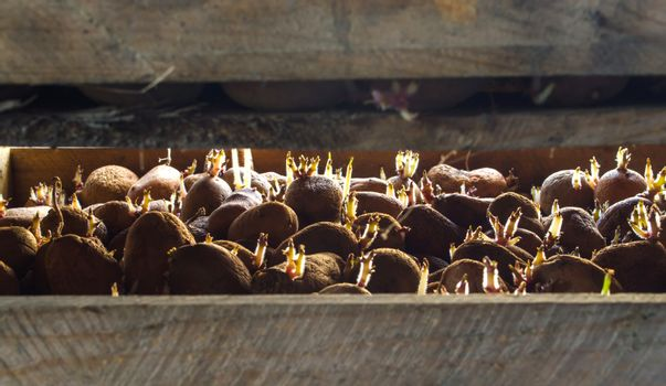 Germinating seed potatoes with roots in wooden boxes. Traditional agriculture. Farming. Food stocks, harvest. Preparation of potatoes for sowing in the ground. Agro-industrial complex, agriculture.