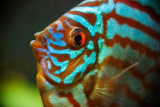 Red, blue, green Discus fish detailed close up in the aquarium. Fishkeeping theme.