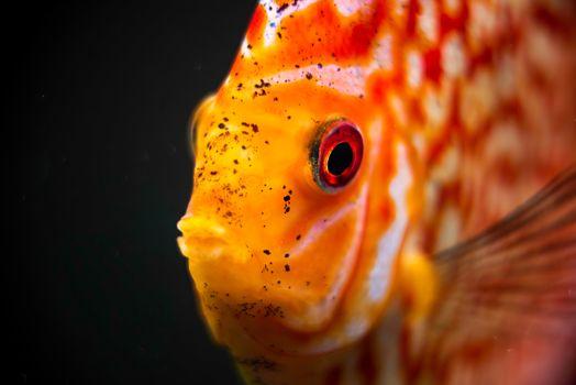 Red, Orange Discus fish detailed close up in the aquarium. Fishkeeping theme.