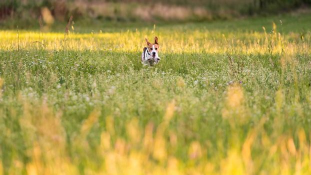 Dog Beagle running and jumping with tongue out through green grass field in a summer, towards camera