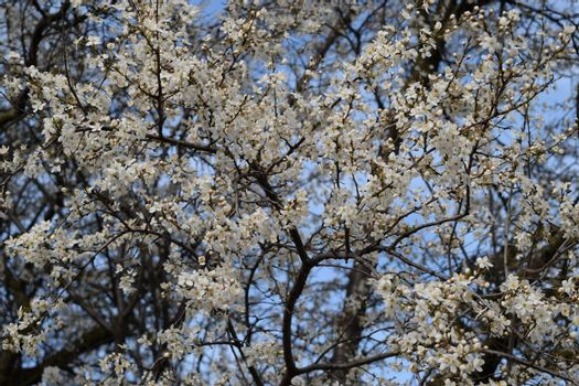 Blossoming of a cherry plum in a spring garden in Kuban in Russia