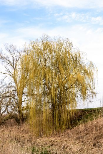 Willow tree on the banks of the river. Spring landscape by the river.