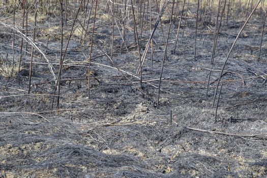 Ashes from the burned grass on the soil. After the fire, the landscape.