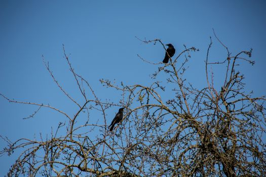 black crows on wintry tree