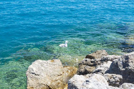 seagull in the sea in porto santo stefano