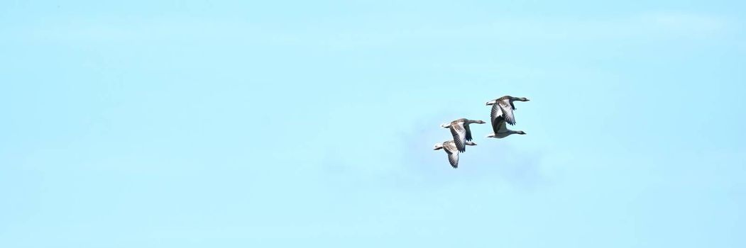 A group of gray geese, dark gray-brown goose, flying against a fresh blue sky. Wide long cover or banner.