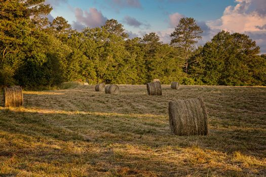 Rolls of Hay in a Freshly Harvested Field in Late Afternoon Warm LIght