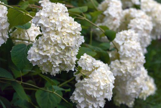 White hortensia flowers (Hydrangea arborescens L.) floweribg in garden
