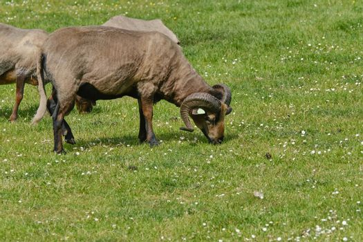 Horned brown mother goat with baby goad kids, eating grass.