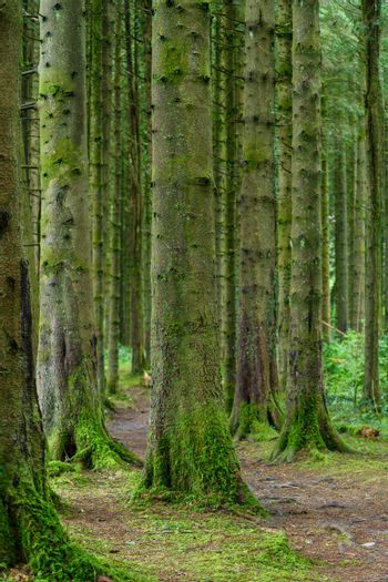 Row of trees covered with moss in the Brecon Beacons National Park
