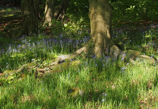 english bluebells flowering in bright spring woodland surrounded by grass and tree trunks