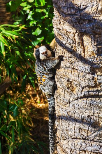 Lemur with a striped tail climbs the trunk of palm trees