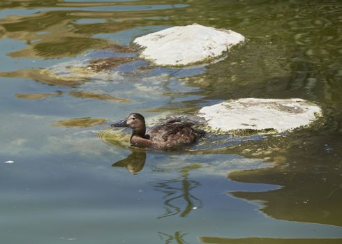 Duck swimming in a lake next to a stone, lonely, two stones