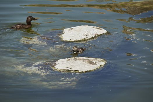 Two ducks swimming in a lake next to a stone, lonely, two stones