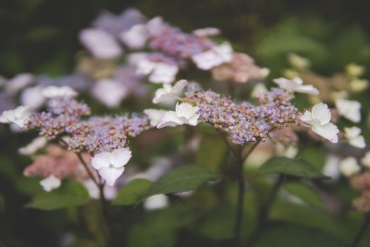 close up of Hydrangea macrophylla