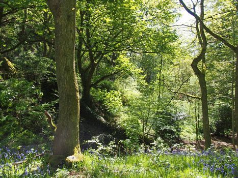 a sunlit woodland scene with light shining on the leaves and trees with the ground carpeted by springtime bluebells