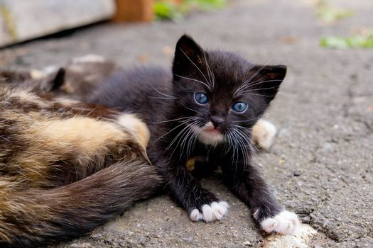 Small black kitten with blue eyes in outdoors.