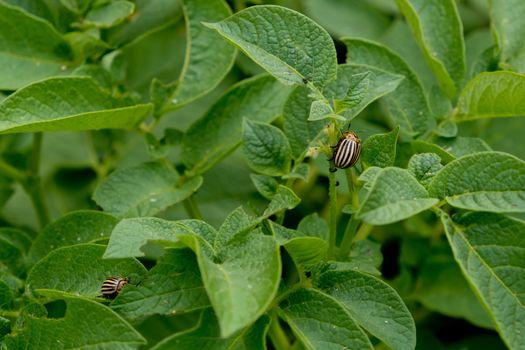 Colorado beetle eating potato leaves.