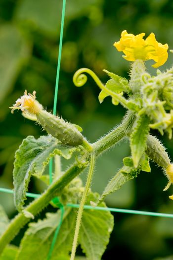 Young plant cucumberin the garden.