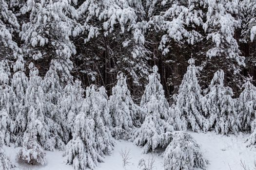 Evergreen Trees Covered in Thick Heavy Snow