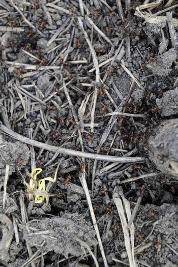 Ordinary ants on an anthill. Social insects.