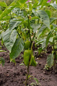 Bell pepper grows in the garden. Green pepper.