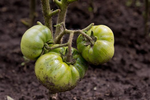 Green tomatoes on a branch in garden.