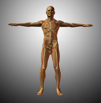 Vitruvian man interpretation. Anatomy