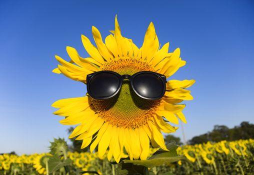 Sunflower in sunglasses. Sunglasses on a yellow flower of sunflower