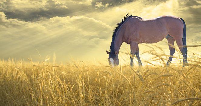 Horse grazing in field of golden wheat