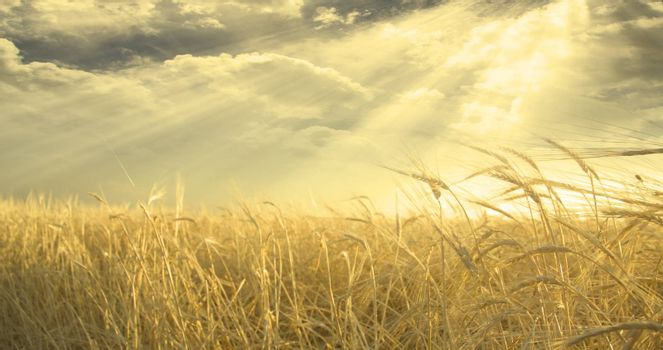 Golden Field of Wheat and Sky. Sunset or sunrise